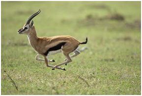 The supreme elegance of the Gazelle